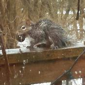 Soggy squirrel