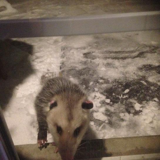 Opossum Lindsay, Ontario, CA