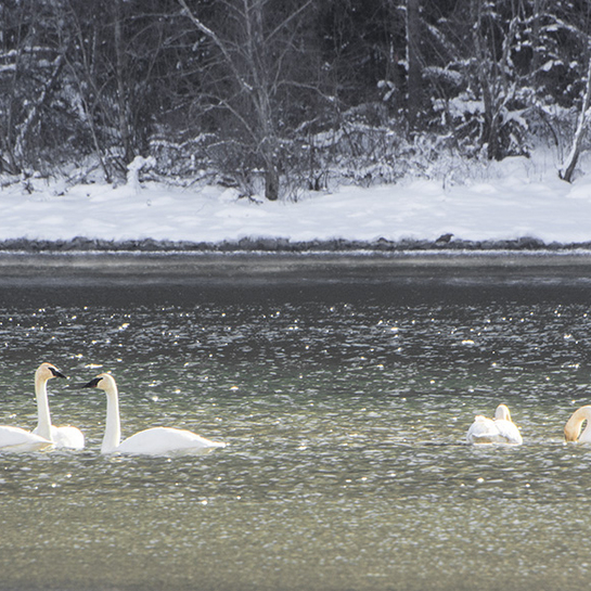 Trumpeters swans Nelson, BC