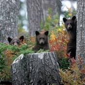 THE BLACK BEAR FAMILY