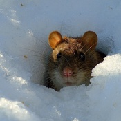 Smiling little winter rat :)