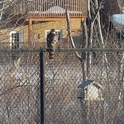 hawk in my backyard