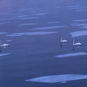 Swans in the St. Lawrence River