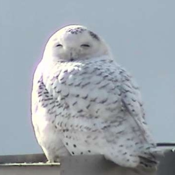 Snowy Owl visiting Mississauga Uniforms
