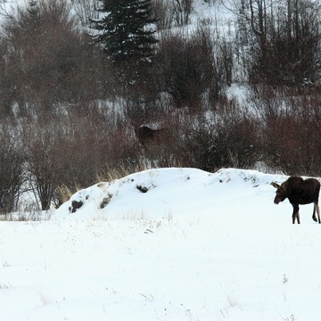 Good Moose Morning!