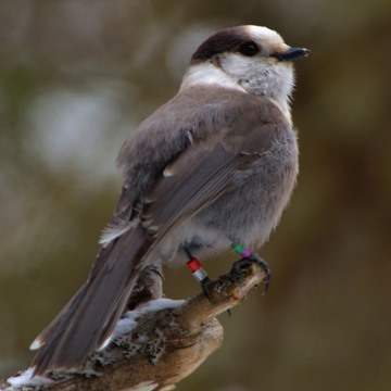 Gray Jays Of Algonquin Park