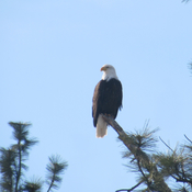 Bald Eagle outside my window