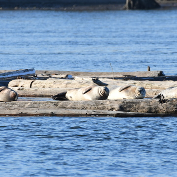 Sun Bathing Seals on Fraser River