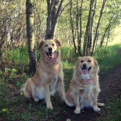 Goldens in the Green