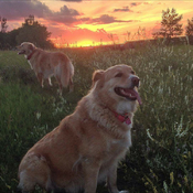 Sunset Goldens