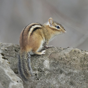 First Chipmunk!