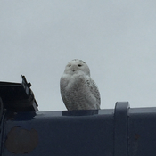 Snow Owl in Ajax