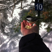 Chickadees on the White Pine