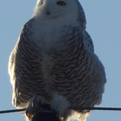 Another snowy owl enjoying the sunshine near Atwood.