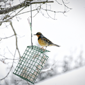 Varied Thrush in the Snow