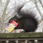 Squirrel opening up a special delivery