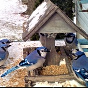 Bluejays at feeder