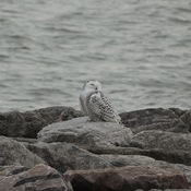 Snowy Owl Spotted in Burlington