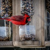 red cardinal feeding in our yard