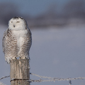 Snowy Owl on Frosty Day