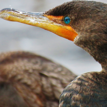 Cormorant, up close.