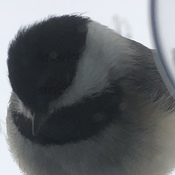 Chickadee at my Window