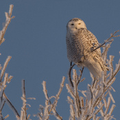 Snowy Owl in a Frosted Tree