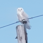 Snowy Owl Watching Over Me