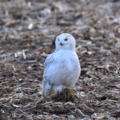 Snowy owl looking for more voles