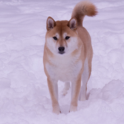 Shiba Inu in the snow