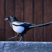 Doin' the Magpie Shuffle.