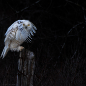 Snowy Owl Cloaked in mystery