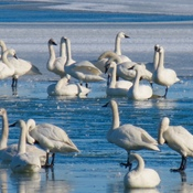 Tundra Swans Too Early