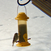 Goldfinch at a distant feeder