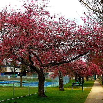 CHERRY BLOSSOMS - VANCOUVER - MARCH 18 - 3:00 PM