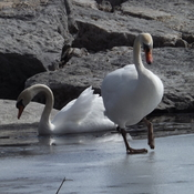 Swans on Bay of Quinte Ice Belleville Ontario
