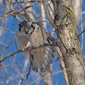 Hooo goes there: Northern Hawk Owl