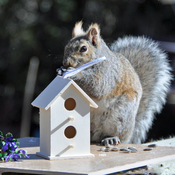 Squirrel builds a birdhouse in time for Spring.