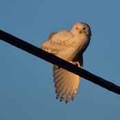 Snowy Owl Stretching Its Wing