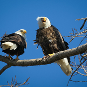 Eagles vocalizing after breeding.