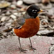 robin on first day of spring