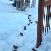 March of the March mourning doves