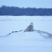 Last Snowy Owl sighting on Lake Nipissing.