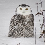 Snowy Owl visiting North Bay.