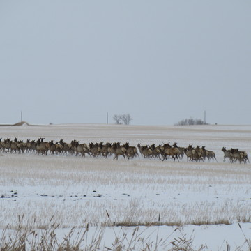 why did the Elk cross the road? - to see whats in the farmers field