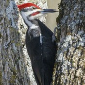 Biggest woodpecker