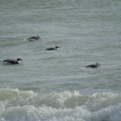 Long Tail Ducks riding the waves