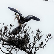 Tree Of Nesting Great Blue Herons