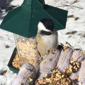 Black capped chickadee .