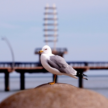 Appealing to a Sea Gull's Vanity